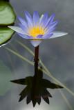lotus jako zrcadlový odraz ve vodě