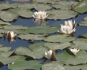 Blooming water lilies and their leaves in the lake. Water flora.
