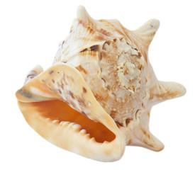 conch.