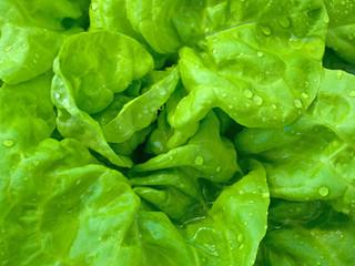 Kopfsalat  - Lactuca sativa