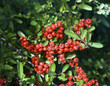 Firethorn Berries Pyracantha
