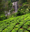 Tea field & water fall in munnar kerala, India