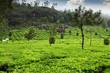 Tea field in munnar kerala, India