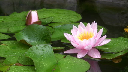 Pink flower of a lotus in a pond