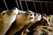 Kühe in einer Reihe