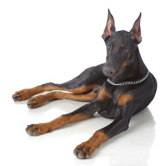 Puppy od doberman laying