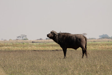 Búfalo del Cabo
