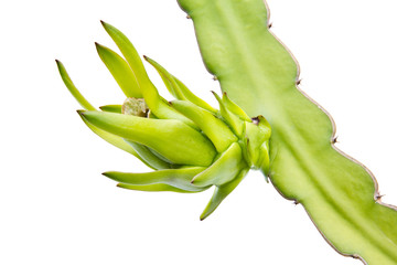 Young dragon fruit on its tree on white backbround