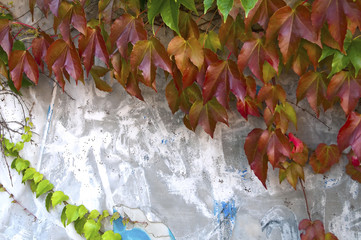 An ivy and a wall