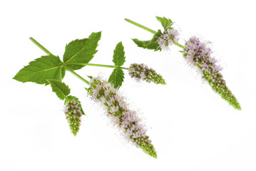 peppermint flowers and leaves isolated on white