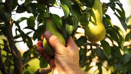 raccolta pere - pear harvest