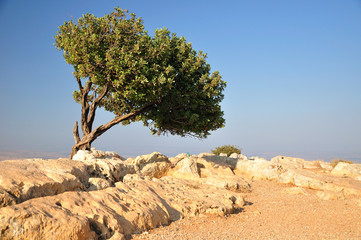 Carob tree on Arbel cliff. Israel.