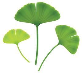 Leaves of ginkgo biloba.