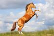 horse rears