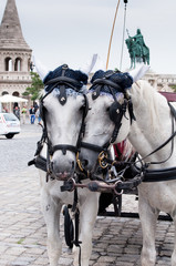two white horses on the main square in the city