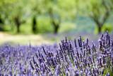 Fototapety Provence, typical landscape. France,