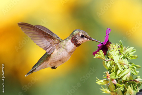 Juvenile Ruby-throated Hummingbird (archilochus colubris)
