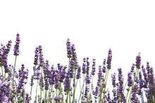 Pourpres de fleurs de lavande