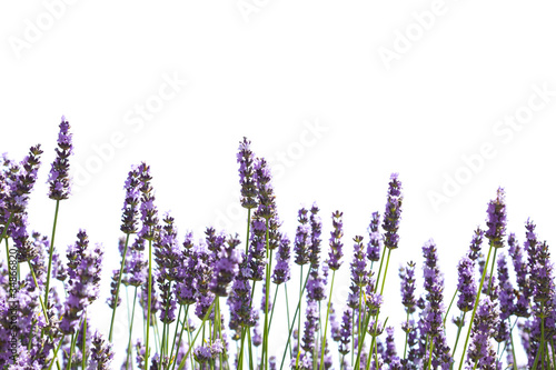 In de dag Lavendel Purple lavender flowers