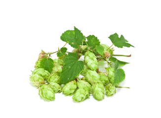 hop plant green