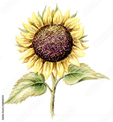 Picture, pastel, sunflower