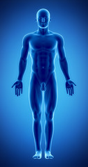 Male figure in anatomical position in blue x-ray