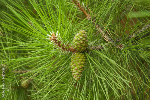 two pine cones on the branch