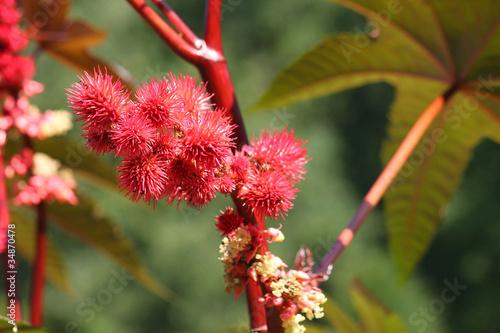 Rizinus-Früchte