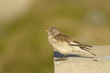 White-winged Snowfinch, or Snowfinch, Montifringilla nivalis