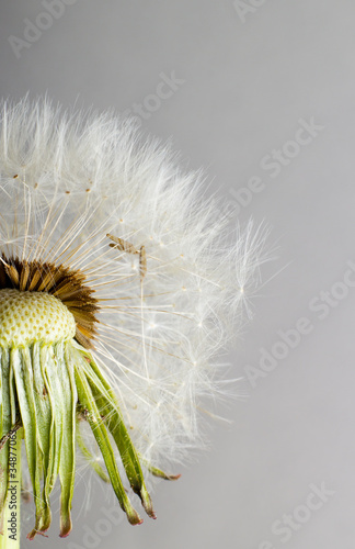 The Dandelion. Macro photo of seeds over light background. - 34877063