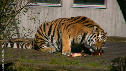 Siberian tiger eating meat in a zoo 3