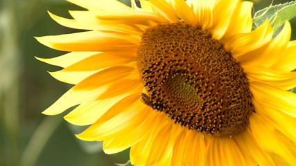 Sunflower and bee gathering pollen