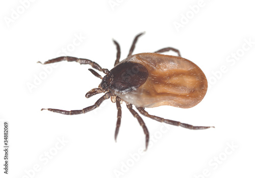 Tick isolated on white background, extreme close up