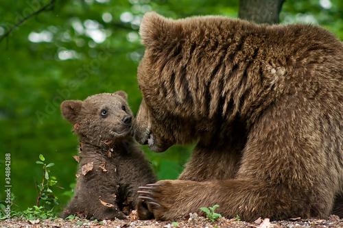 Fototapeten,tierbaby,bär,wildlife,gefährlich