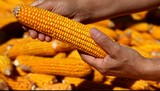 Corns in farmers hands.