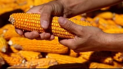Corns in farmers hands.