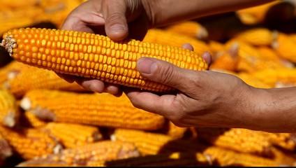 Corns in farmers hands