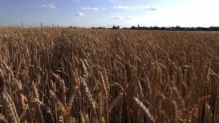 wheat culture field