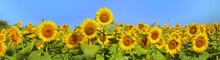 """Постер, картина, фотообои """"Wonderful panoramic view field of sunflowers by summertime"""""""