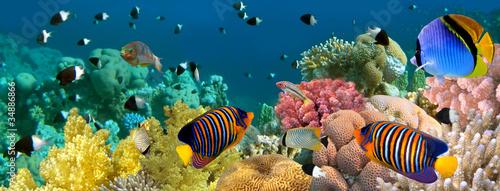Podwodna panorama z rybkami Anioła, rafą koralową i rybami. Czerwony