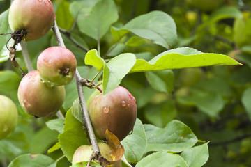 Manzanas de sidra asturiana