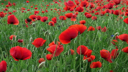 red poppies on the field