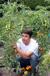 Mann im Garten pflückt Tomaten