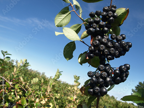 A bunch of black chokeberry in orchard.