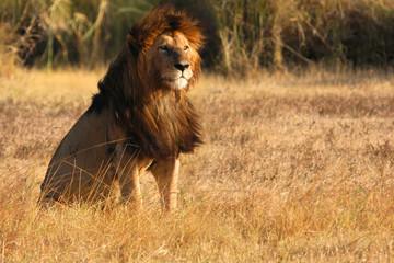 Vieux lion mâle au couchant du Ngorongoro