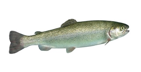 alive rainbow trout