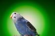 parrot budgies