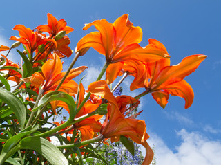 Red-orange lily flowers close-up against blue sky