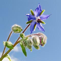 Starflower, Borago officinalis, bloosom and buds
