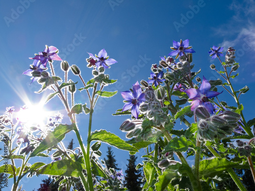 Starflower, Borago officinalis, and summer sun